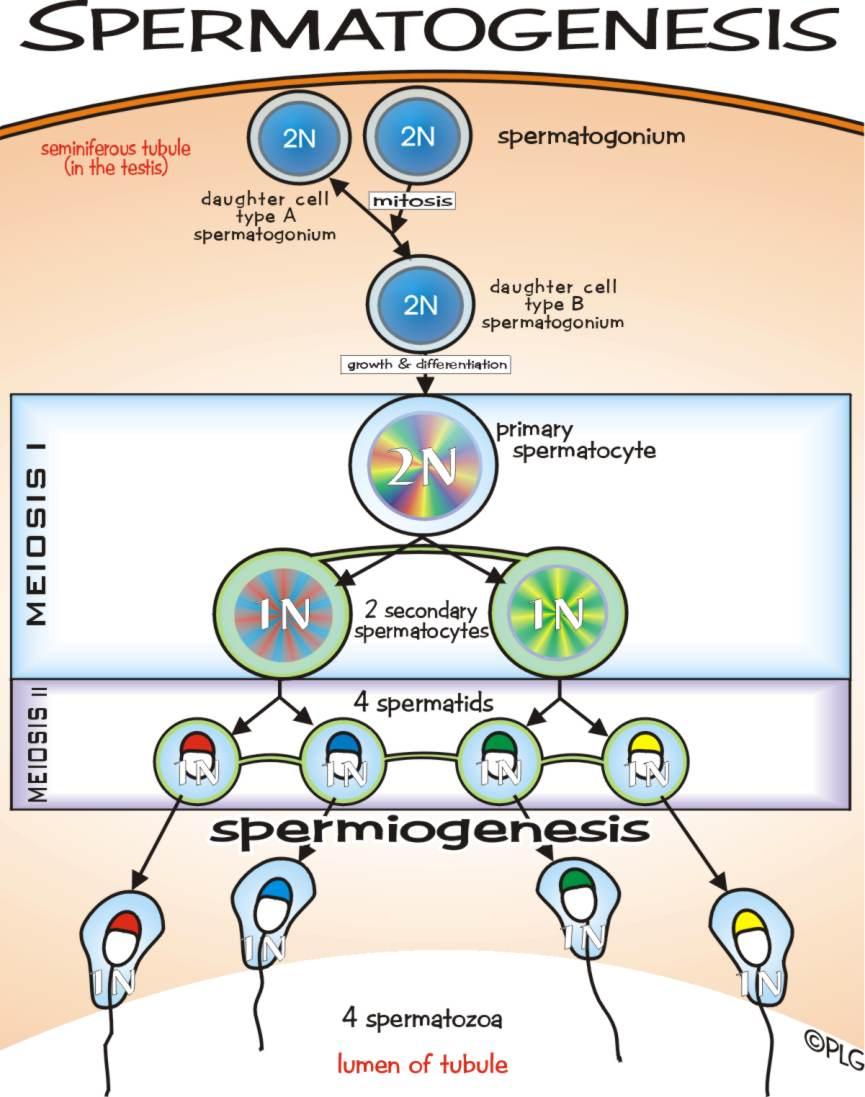 Proses fisiologi dari spermatogenesis ereksi ejakulasi dan proses fisiologi dari spermatogenesis ereksi ejakulasi dan pubertas ccuart Image collections